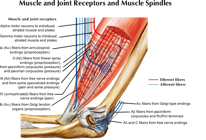 All muscle receptors.jpg