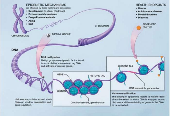 Понятие о гетерохроматине и эухроматине