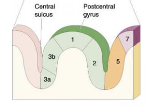 Somatosensory cortex.png
